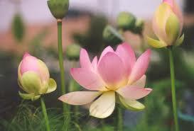 hoa sen 1