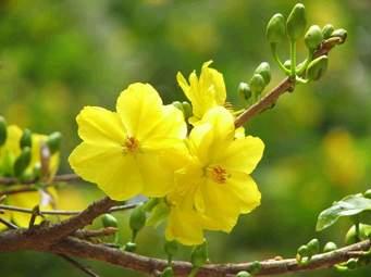 hoa mai a